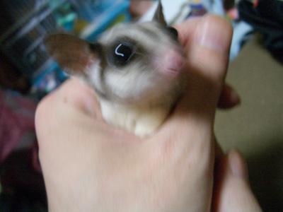 ぶれすぎチョコちゃん。手の中にもぐったり顔だしたりして遊んでいます!いじめているかのようなうつりですが・・・ああ、いつになればモモンガたちを上手に写真に撮れるようになるんだろうか ><